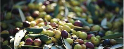 Servizi climatici per le colture mediterranee il progetto MED-GOLD