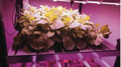 """Molecular Farming, piante come """"biofabbrica"""" di farmaci antitumorali immunoterapici"""